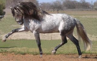 cavallo-andaluso-1